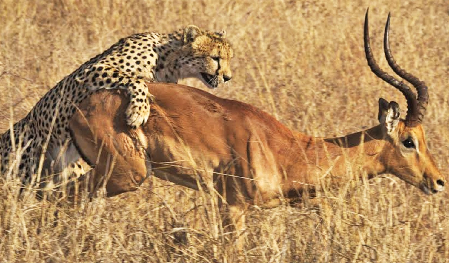 Video Cheetah Kills Impala Right Next To Road Africa