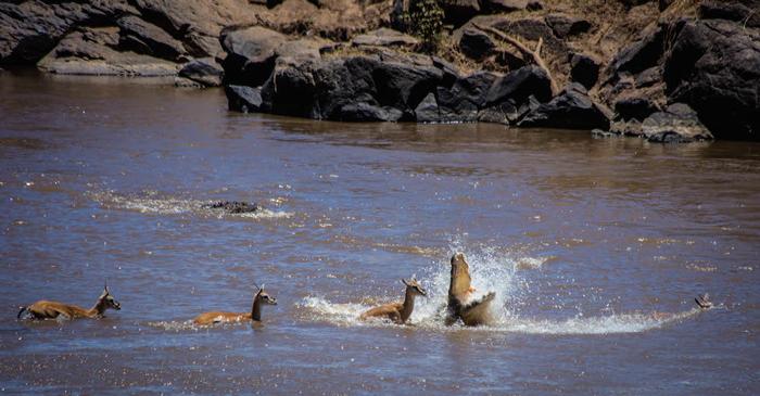 crocodile-attack-mara-river