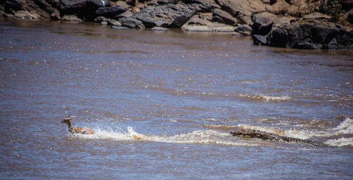 crocodiles-chasing-gazelles