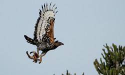 crowned-eagle-vervet-monkey-kill