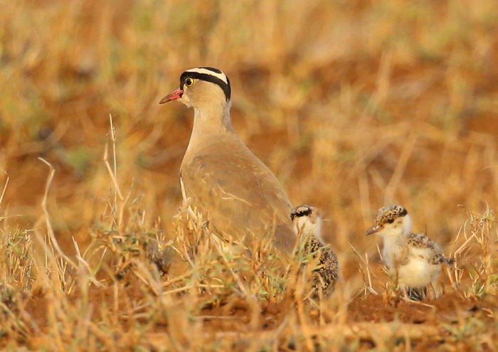 Crowned plover and chicks