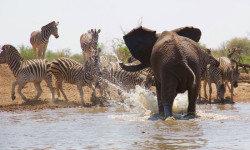 elephant-and-zebra-at-waterhole