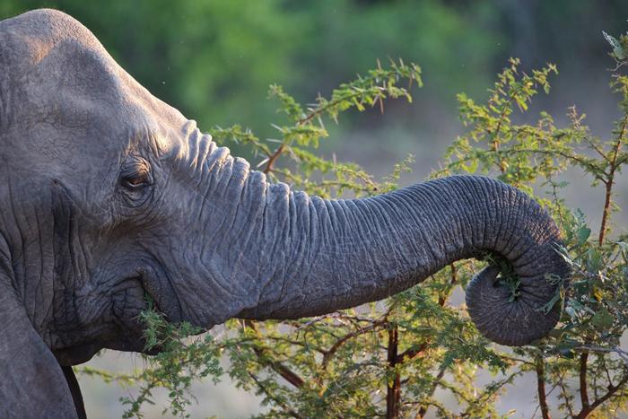 elephant-browsing