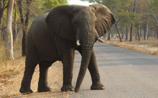 An elephant crosses the road in Hwange National Park, Zimbabwe ©AP