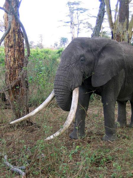 elephant-hunted-zimbabwe