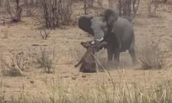 elephant-kills-buffalo