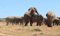 elephants-mating-in-herd