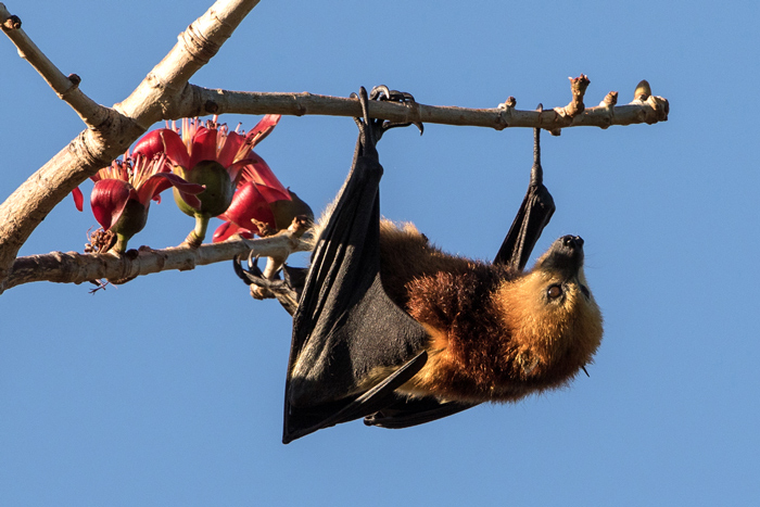 endemic-mauritius-flying-fox