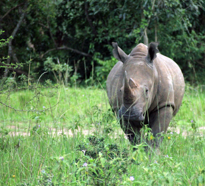 Interesting facts about rhinos in Uganda - Africa Geographic