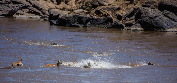 gazelles-being-chased-by-crocodiles