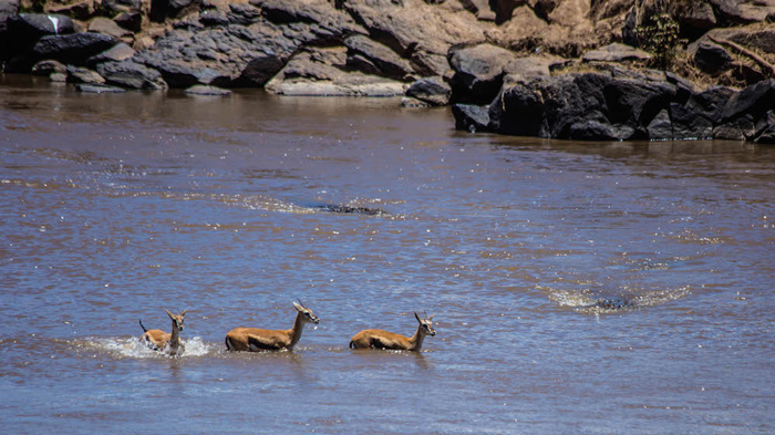 gazelles-in-the-mara