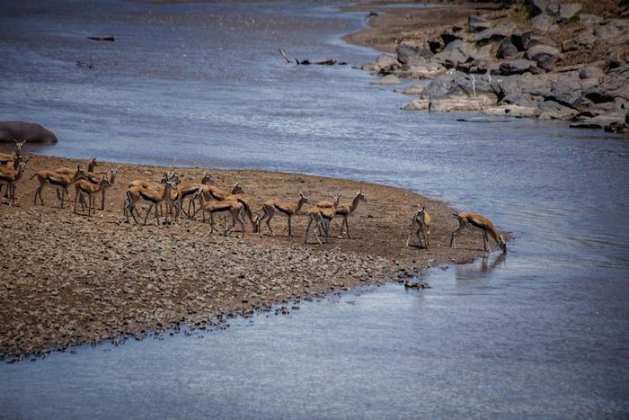 gazelles-mara-river-kenya