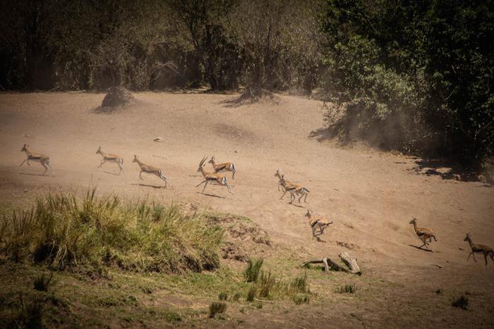 gazelles-mara-river