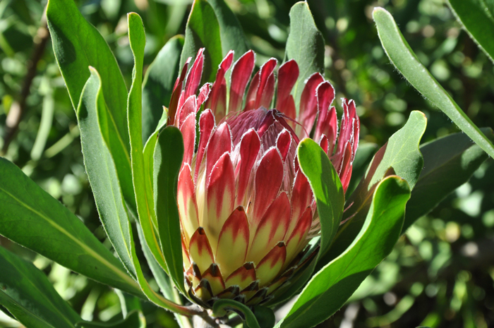 The beautiful, and indigenous, Breadasdorp sugarbush (Protea obtusifolia) © Alice Notten