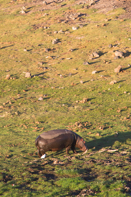 hippo-from-observatory