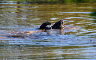 hone-badger-swimming