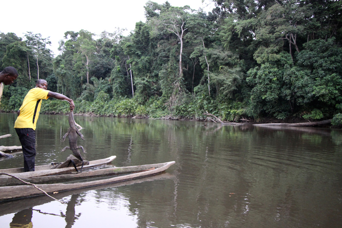 The confiscated crocodiles are released back into a nearby forest river and swim away unscathed.