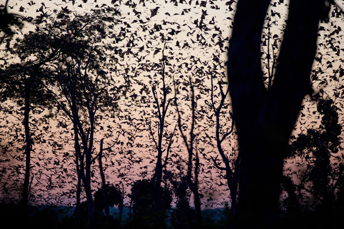 kasanka-bat-migration
