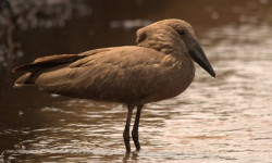 kenyan-hamerkop-bird