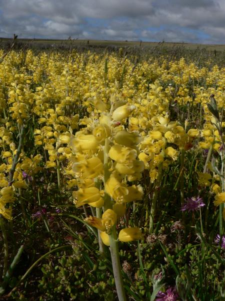 Almost extinct. Mass flowering display of Lachenalia mathewsii next to agricultural fields growing in Cape inland Salt pans in Saldanha Granite Strandveld. Picture by Ismail Ebrahim.