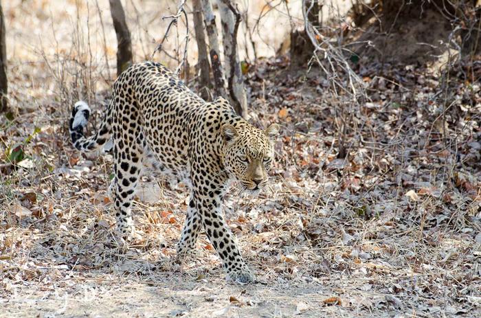 leopard-camoflauge
