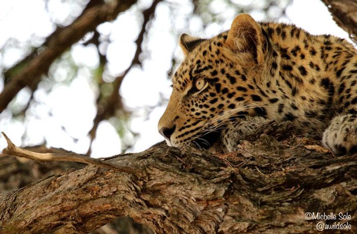 leopard-cub-resting