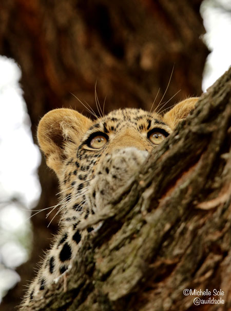 leopard-cub-watching