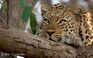 leopard-kafunta-safaris