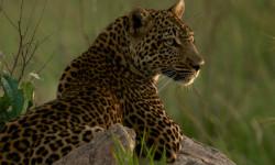 leopard-matembezi