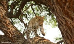leopard-tree