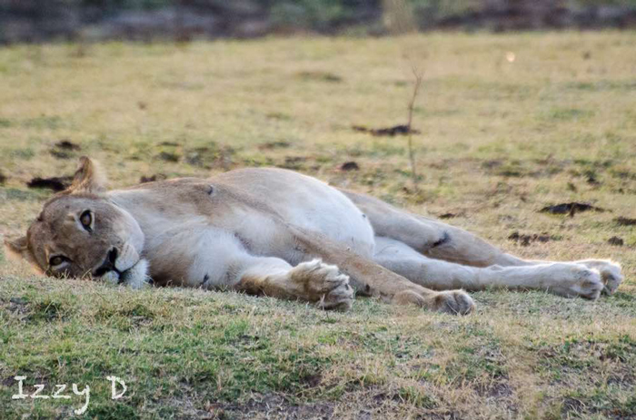 lion-kill-south-luwanga