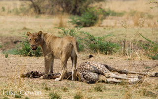 lion-kill-thornicroft-giraffe-calf