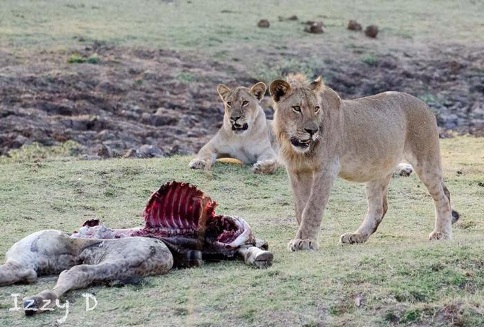 lion-kill-thornicroft-giraffe