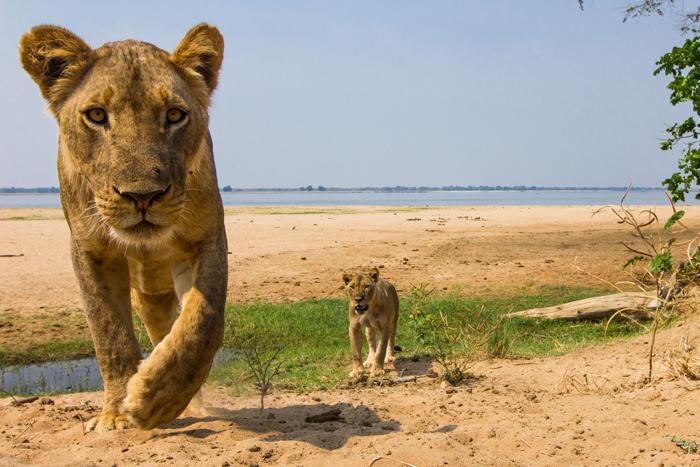lion-zambia