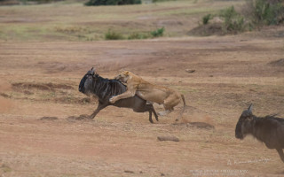 lioness-hunting-maasai-mara