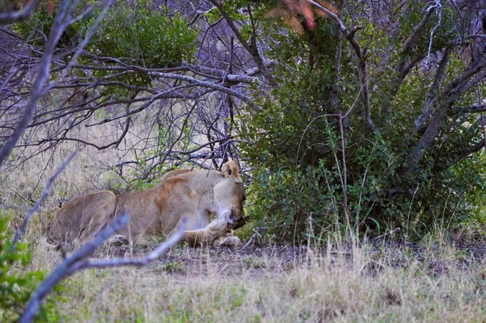 lioness-licking-paw-bushwise