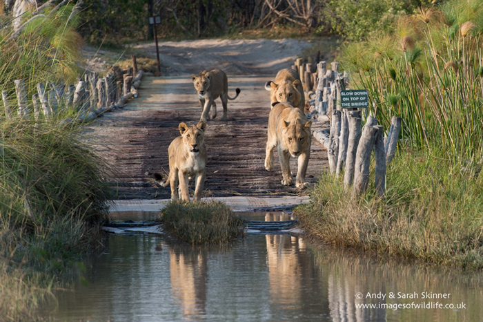 Lions Abide By The Rules Of The Bridge Africa Geographic