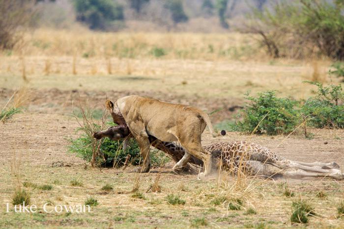 lions-kill-thornicroft-giraffe-calf