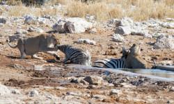 lions-kill-tow-zebra-at-kalkheuwel-waterhole