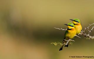 Little bee-eaters © Heidi Watson