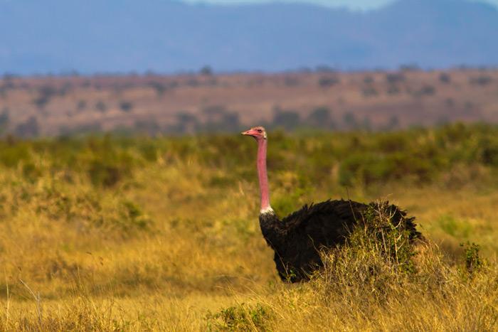 male-ostrich-kenya