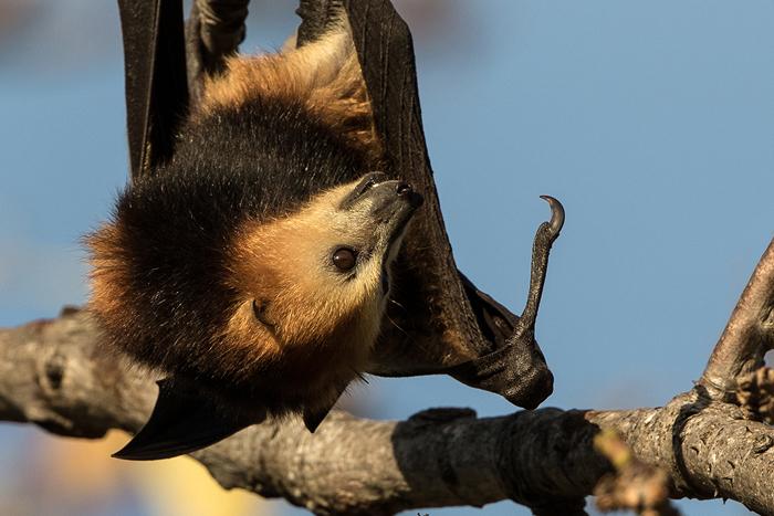 mauritian-fruit-bat
