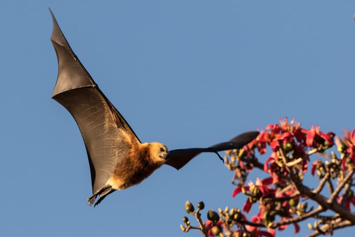 mauritius-flying-fox-in-flight
