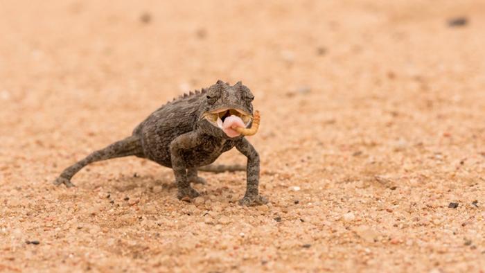 namaqua-chameleon-desert
