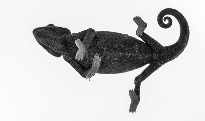 namaqua-chameleon