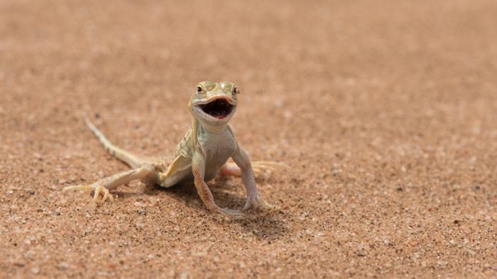 namib-desert-lizard