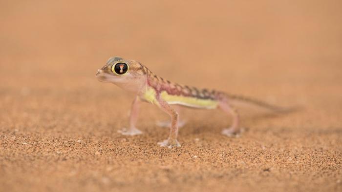 namib-dune-gecko