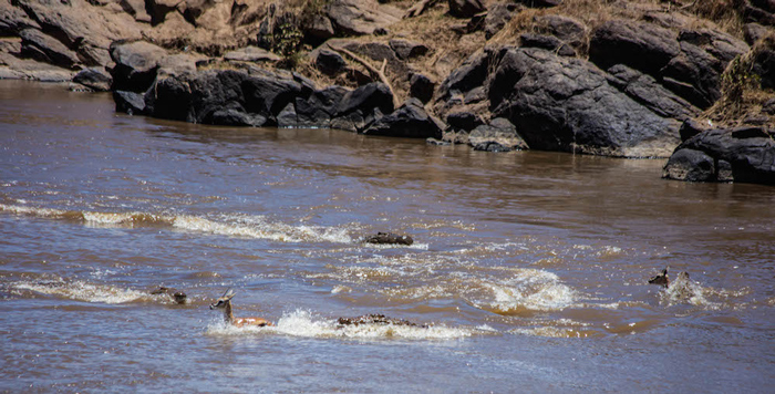 nile-crocodile-chasing-gazelles