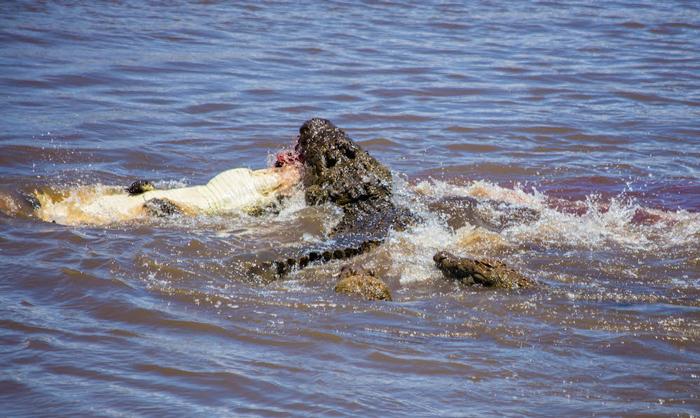 nile-crocodiles
