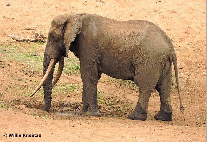 Nkombo photographed by Willie Knoetze in the Shingwedzi riverbed on 3 October 2015. Image sourced on Tuskers of Africa
